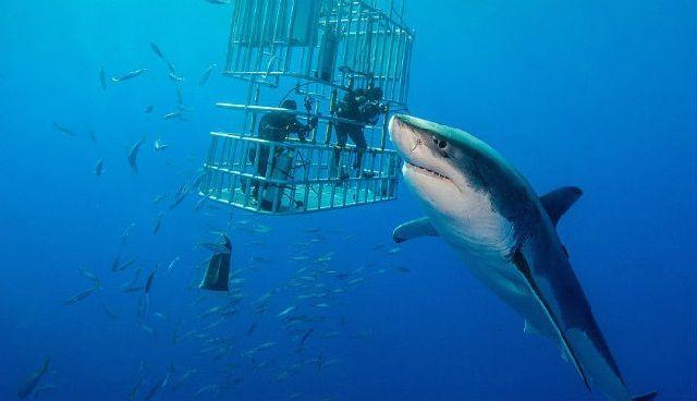 Ciri Morfologi Ikan Hiu