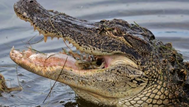 Φλόριντα: Πατέρας προσπάθησε να σώσει τον 2χρονο γιο του βουτώντας στο στόμα αλιγάτορα