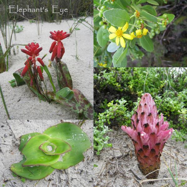 ed Lachenalia, Chrysanthemoides monilifera mystery bulb, Hyobanche