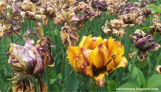 Аптекарский огород в Москве: тюльпаны в июне