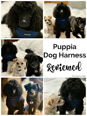 Collage of black poodle in blue Puppia harness.
