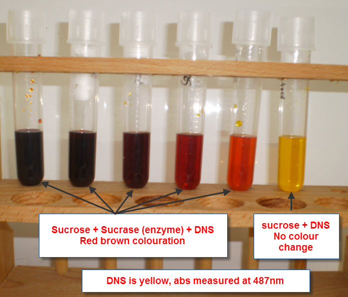 An analysis of the experiment the digestion of sucrose into glucose and fructose