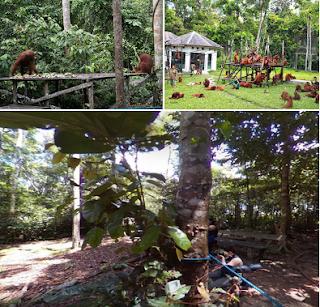 Orang utan di Wisata Taman Nasional Tanjung Puting