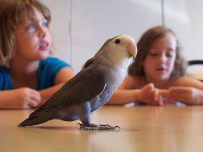 Pentingnya Mewaspadai Burung Lovebird Import