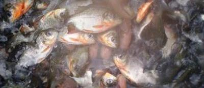 Prospek Bisnis Ikan Bawal yang Menjanjikan Keuntungan