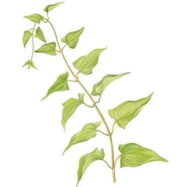 Guaco, nome científico:Mikania glomerata