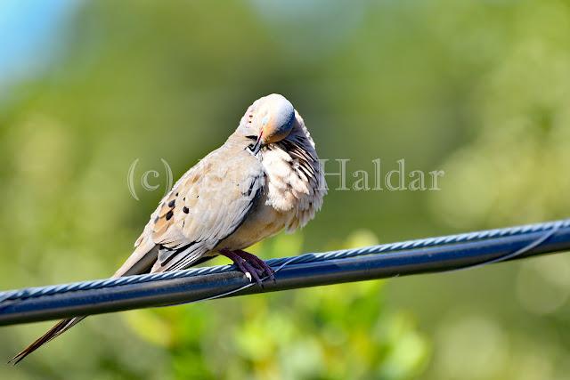 A Morning Dove
