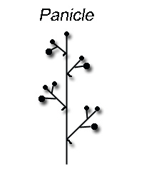 Panicle: A loose and diversely branched inflorescence with