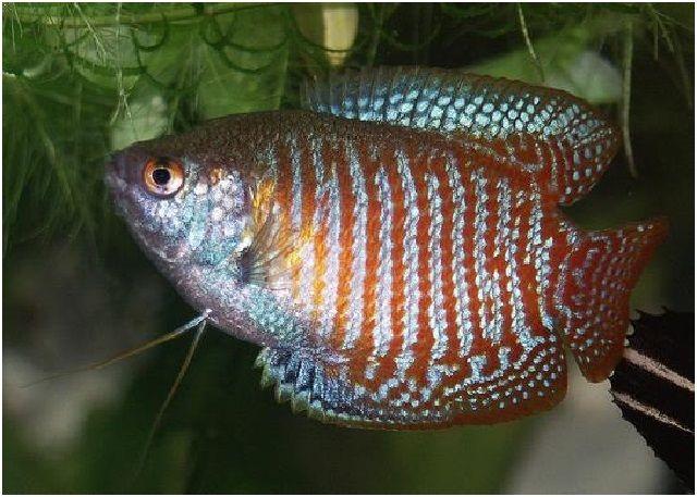 Gambar Ikan Hias Cantik – Ikan Sepat Hias