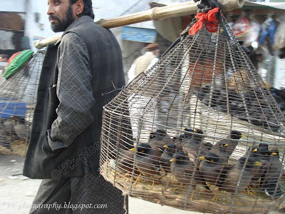 Indian Myna Bird For Sale