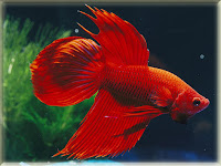 Siamese Fighting Fish Pictures