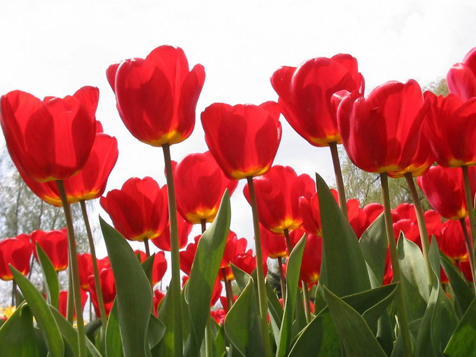 Cute Tom And Jerry Wallpapers Wallpapers Red Tulips Wallpapers