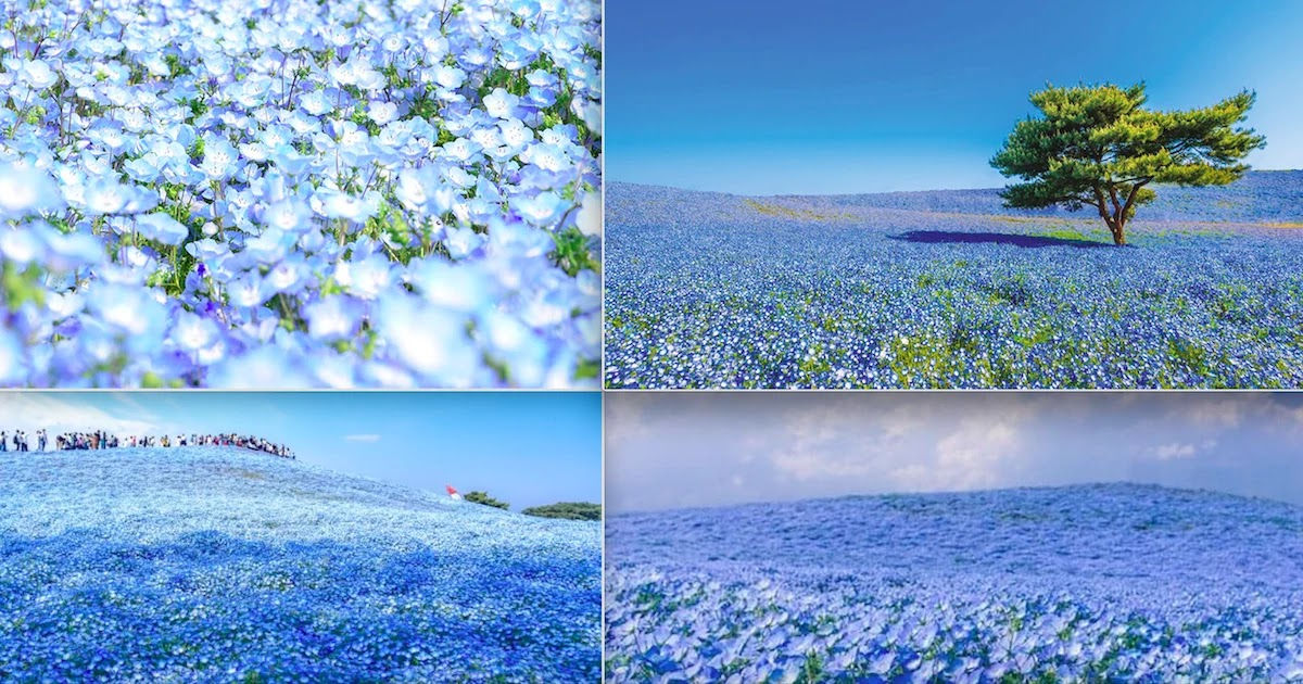 Japan's Amazing Nemophila Harmony Flowers