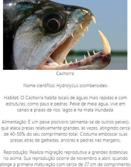 Peixe-Cachorra