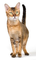 Chausie cats can weigh in at 30 pounds
