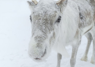 a cute reindeer face up close in the snow