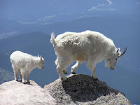 This is a picture of some cool mountain goats.