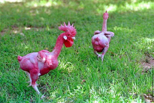 Ayam Tanpa Bulu Telah Berhasilmbangkan Oleh Para Ilmuwan
