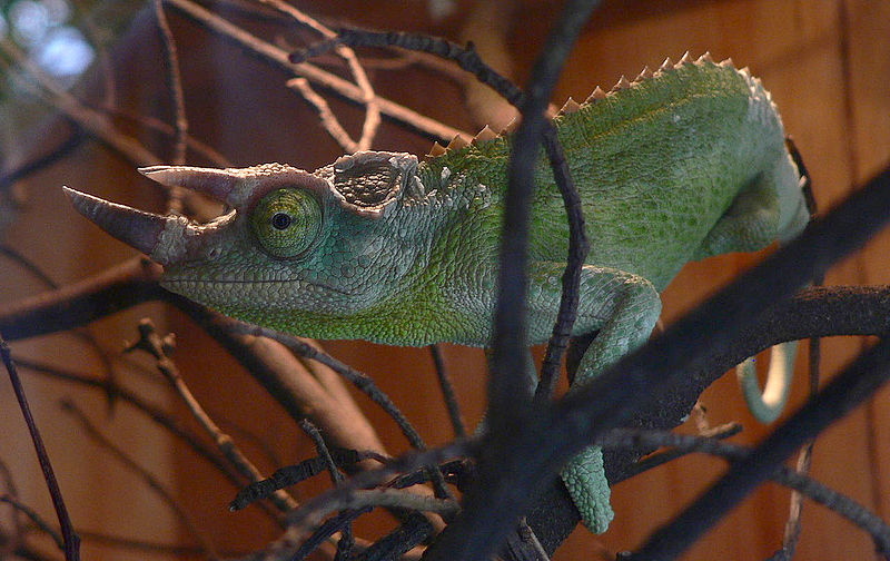 The Fine Feline: Specimen Spotlight :: Jackson's Chameleon