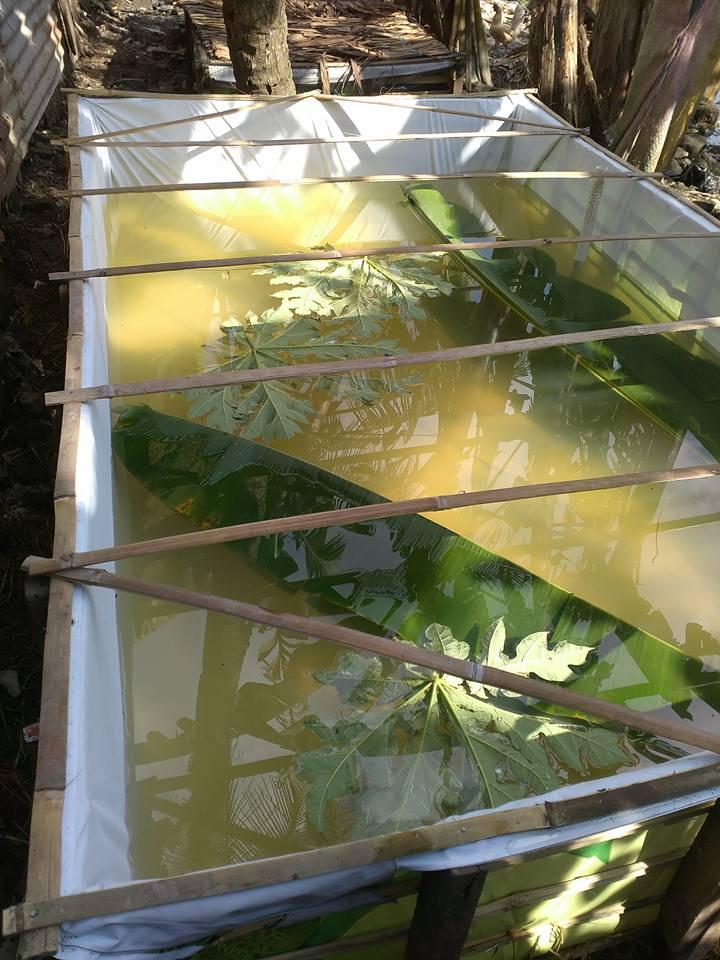 mensterilkan kolam ikan baru dengan daun pepaya