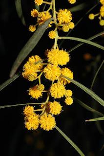 Gambar Bunga Akasia yang Indah 8