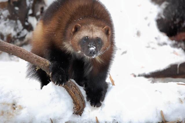 Pelajari tentang binatang di utara