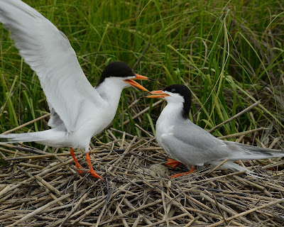 Pair of Forster's Terns engaged in ritual behavior at the nest. © Michael Kilpatrick
