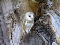 Adventures With Mel & Syd: Barn Owl Info