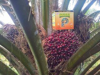 produksi kelapa sawit meningkat, meningkatkan kualitas buah sawit