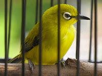 Hobi Burung Tambah Penghasilan