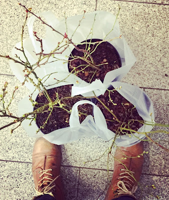 kolme pensasmustikkapensasta muovikasseissa ja nahkakengät
