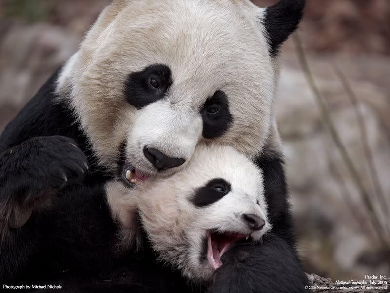 Animal Planet: Oso Panda