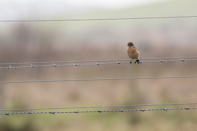 Female Stonechat on fence wires