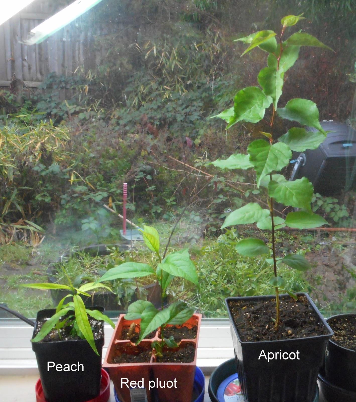 Apricot Seedling