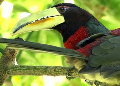 Arasarí de Azara Pteroglossus azara