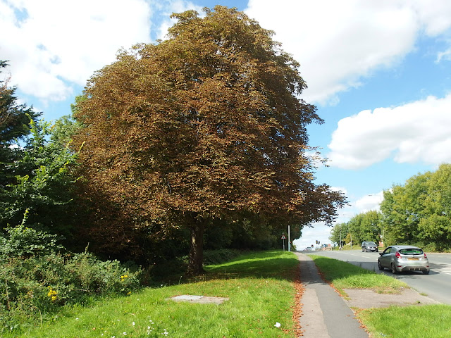 A sorry looking horse chestnut tree in Chippenham