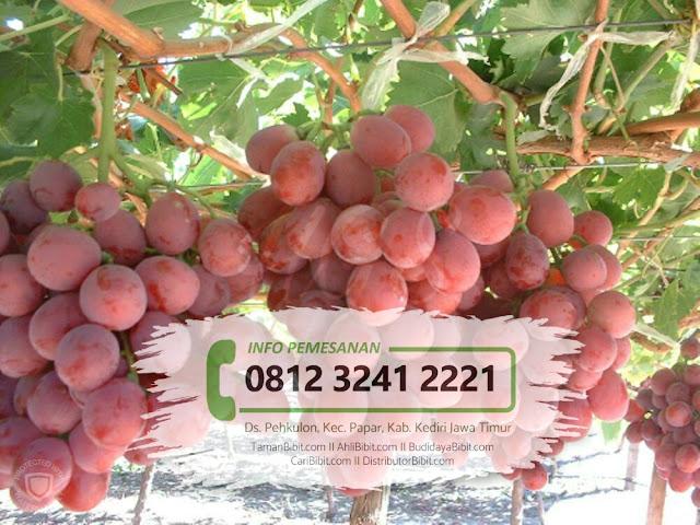 Jual Bibit Buah Anggur Red Globe