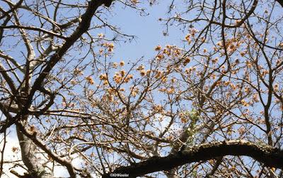 wiliwili, Erythrina sandwichensis