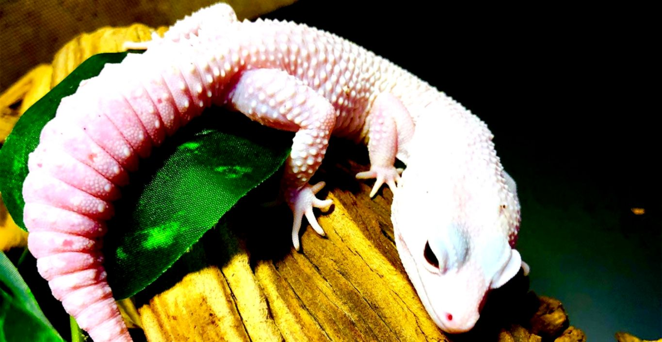 Leopard Gecko Morphs For Sale | Wallpapers Up