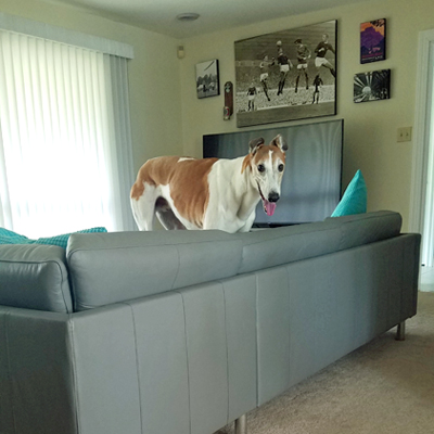 image of Dudley the Greyhound standing on the couch in the living room, looking at me with his tongue hanging out and silly ears