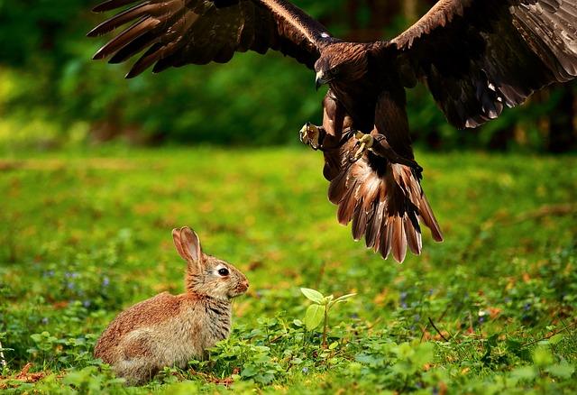 Orzeł polujący na króliczka