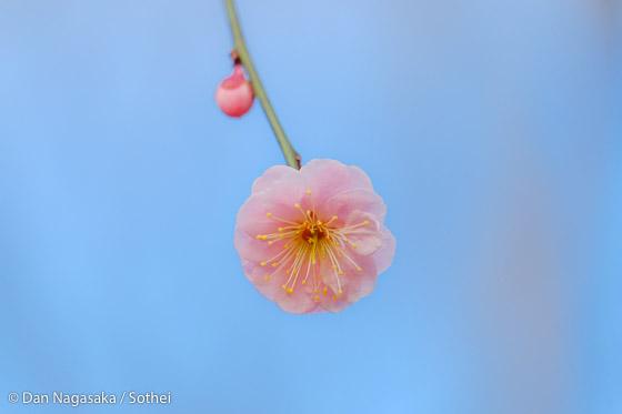 かわいいピンクの梅花のアップ