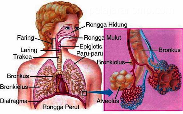 Materi Sistem Pernapasan Pada Manusia, Hidung, Faring, Laring, Trakea, Paru-paru dan Proses Pernapasn IPA SMP