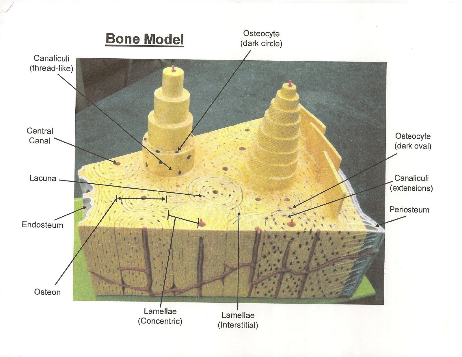 Bone Cell Diagram Labeled Recessed Can Light Wiring Anatomy And Physiology I Bis 240 Model