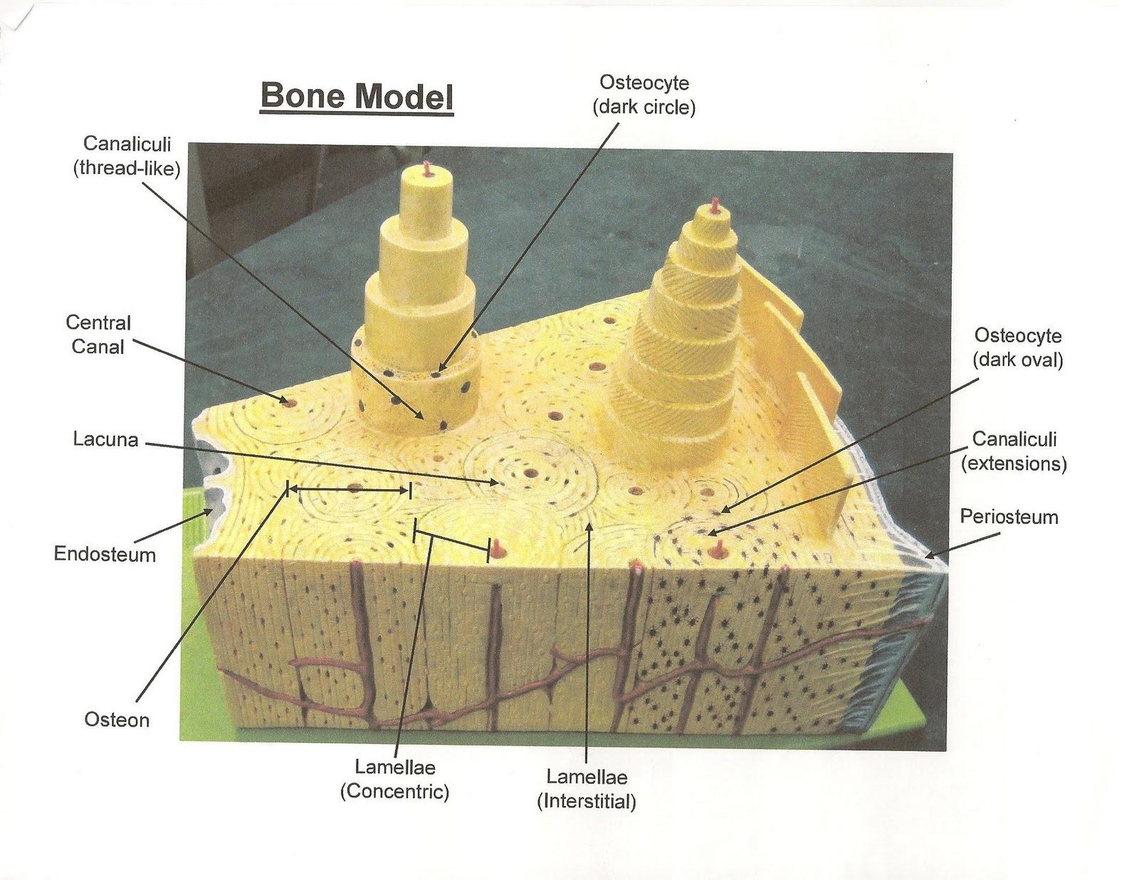 anatomy amp physiology i bis 240 bone model blank axon diagram #11
