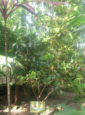 canela cassia segunda expedicion botánica