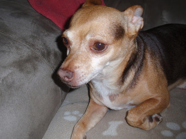 #Chihuahua #ScoobyDoo is scared of #Fireworks