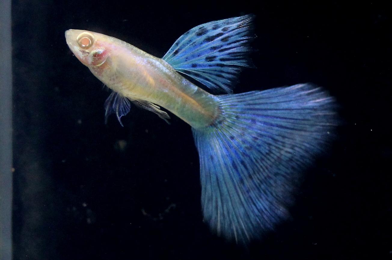 guppy albino blue grass guppy fish indonesia