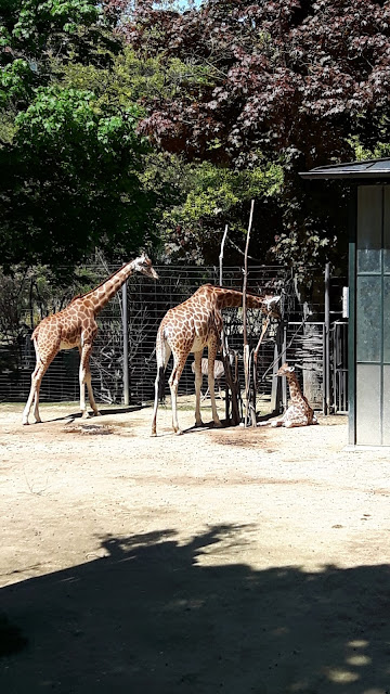Giraffen mit Giraffenbaby im Zolli Basel