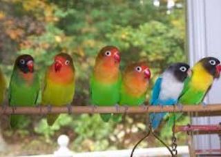Cara Budidaya Lovebird Terlengkap Hasil Maksimal